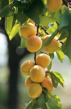 Apricots - my favourite stone fruit.  Have just finished eating and juicing the ones from my dad's tree.  They are so sweet - and some the size of tennis balls!