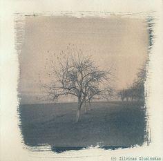Cyanotype print  Tree  Photo of Tree Apple tree  by Altphotos, for sale