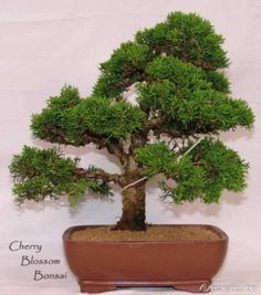 office bonsai.  Office FREESHIPPING50juniperbonsaiseedspottedflowers And Office Bonsai