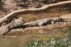 A Johnston River crocodile on the bank of Cobbold Creek