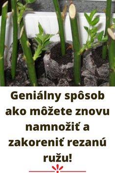 Geniálny spôsob ako môžete znovu namnožiť a zakoreniť rezanú ružu! Aloe Vera, Celery, Herbs, Vegetables, Plants, Herb, Vegetable Recipes, Plant, Veggies
