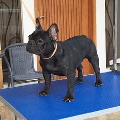 French Bulldog                                                       …