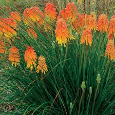 Ember Glow (dwarf Kniphofia) puts on a massive flower display from August to frost #houzz