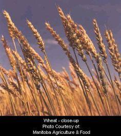Wheat - close-up