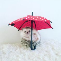 Last week we reported on Azuki The Hedgehog who went on a camping trip! But now we have more amazing Azuki photos to share. The little hedgehog also owns plenty of hats. The Japanese pet looks adorable in his dozens of miniature hats which are sure to brighten your week, check them out below! 1. … Super Cute Animals, Cute Little Animals, Cute Funny Animals, Funny Cute, Baby Animals Pictures, Cute Animal Pictures, Smile Pictures, Baby Hedgehog, Animal Memes