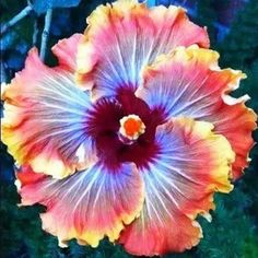 Growing hibiscus is an easy way to add a tropical flair to your garden. When you know how to care for hibiscus plants, you will be rewarded with many years of lovely flowers. Sow the Seeds. Growing Hibiscus From Seeds. Tropical Flowers, Hibiscus Flowers, Large Flowers, Hibiscus Bouquet, Exotic Flowers, Tropical Plants, Purple Flowers, Plate Flowers Garden, Tips