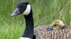 The Wisconsin  towns  of Twin Cities and Mondovi are about to begin brutally killing the Canada geese who live in their lakes -- including the newly hatched goslings. The citiesplan to round up the geese and their babiesand kill them with carbon dioxide in gas chambers. They claim this is a humane...
