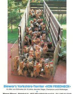 A herd of Yorkies! Don't anybody ring the doorbell !!!!