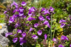 Clinopodium acinos Basil thyme Cliff, Basil, Weed, Wild Flowers, Grass, Succulents, Spring, Plants, Wildflowers