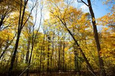 dense forest. - Dense forest with autumn trees.