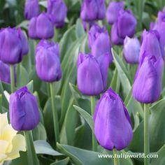 I love Purple and I love Tulips!