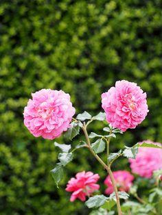 'Christopher Marlowe' | Shrub. English Rose Collection. David C. H. Austin, 2002 | Flickr - © T. Kiya