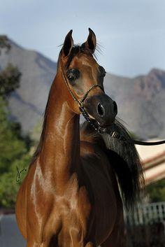 Oak Ridge Arabians - Lady Vitorio ORA