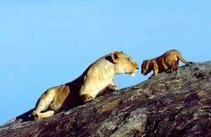 A lioness and her cub in Serengeti National Park in Tanzania :)