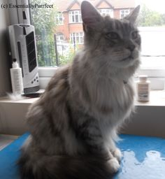 Mallory, a gorgeous #MaineCoon in #Manchester, following his #mobile #catgrooming session.  What a lovely boy !