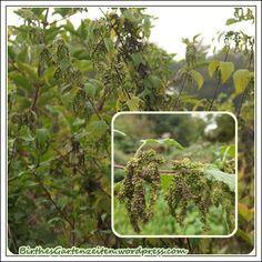 Weibliche Brennesseln mit Samen