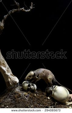 Still Life Skull and Danger Rat zombie ,pestilence , Dead on Black background