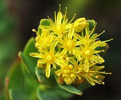 4 Ways Rhodiola Could Change Your Life - reduces stress, belly fat, increases energy & brain power