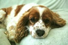 Win $500 for your favorite rescue group #cockers #spaniels