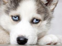 Cute Huskies Puppies With Blue Eyes