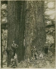 Loggers posing with trees, Grays River, Washington :: Wahkiakum County Heritage