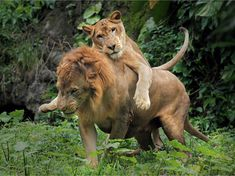 A lioness demands attention from her mate. He, on the other hand, looks as though he just wants some down time. :) (syahrul1509 | Flickr) It's going down Halloween black out party 2016.