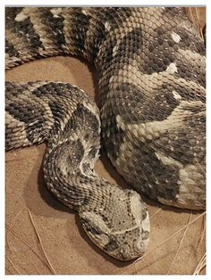 Puff Adder ( bitis arietans) is responsible for  more fatalities than any other African snakes. It has a potent venom that is produced in large amounts. It has long fangs.