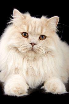 Silky .. British Longhair Cat