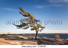... Wind-swept pine tree on the edge of Georgian Bay, Killbear Provincial Park,