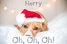 Merry Christmas! :) #Dog photography #Dog photogrpher #Belgium #Belgique #Mariiana Capela
