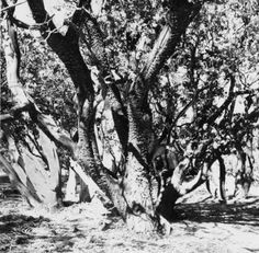 Manzanita tree in the canyon between Blue Bird Drive and Blackbird Way in Park Moderne, Calabasas. San Fernando Valley History Digital Library.