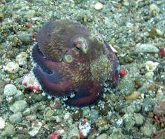 Coconut octopus - Damai Liveaboard Indonesia
