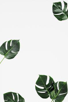 Split leaf philodendron on white background White Background Wallpaper, Ipad Background, Plant Background, Background Vintage, Quotes On White Background, White Background Instagram, Background Images, Greenery Background, White Backround