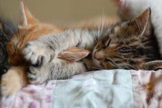 Kitty Tabby Cuddles    Tumblr_m370rxmkzb1rtzrwko1_500_large