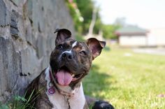 bullysmiles:  Greta by syzygial on Flickr.#pitbulls #dog breeds #canine pet #dogs #pitbull puppy #pitbull dog #pitbull breeds #red nose pitbull #pitbull terrier #apbt #staffordshire terrier #amstaff #english terrier #black pitbull #moo moo pit #chocolate pitbull #pitbull poodle #blue nosed pit #pitbull mutt #mans best friend #4 month old pitbull