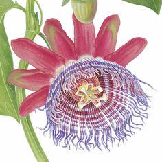 Passiflora quadrangularis by Georita Harriott, detail of limited edition botanical art print.