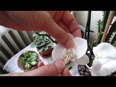 Orkide tohum nasıl oluşur ? - YouTube