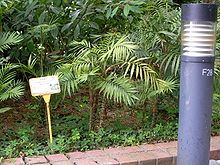 Yet another plant for the office Chamaedorea elegans - Wikipedia, the free encyclopedia