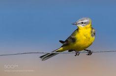Yellow wagtail by LindaHghVendelbo via http://ift.tt/2qbfwOW