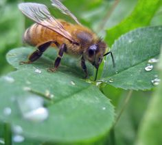 honey bee sipping water atop a clover leaf ... we need them so much .. no chemicals please ...