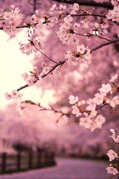 The Sakura Cherry Blossom Tree are one of my favourite trees! Beautiful Flowers, Beautiful Places, Romantic Flowers, Beautiful Scenery, Love Flowers, Beautiful Life, Purple Flowers, Simply Beautiful, Sakura Cherry Blossom