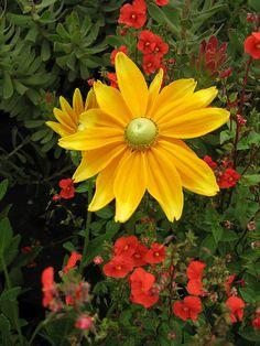Blanketflower 'Prairie Sun' Rudbeckia http://flowersgifts.labellabaskets.com faragmoghaddassi@yahoo.com