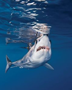 scuba diving with mako shark