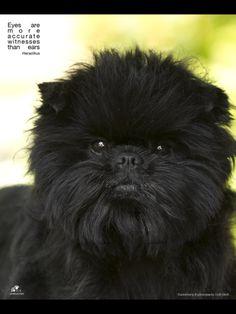 Affenpinscher - aka - Monkey Dog - aka The Black Wookie