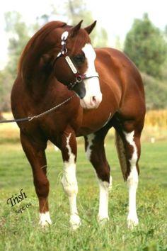 Chestnut sabino QH stallion One Priceless Dollar Call. A very common sabino pattern.