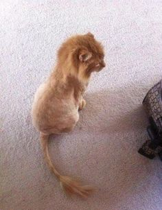 "weirdly cute ""lion"" cat"