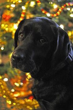 Mind Blowing Facts About Labrador Retrievers And Ideas. Amazing Facts About Labrador Retrievers And Ideas. Labrador Retrievers, Black Labrador Retriever, Retriever Puppies, Black Labrador Dog, Black Labs Dogs, Black Lab Puppies, Dogs And Puppies, Doggies, Corgi Puppies
