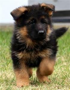 100 Best Shepherd Loverl Images German Shepherd Dogs German