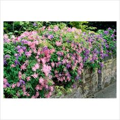 Clematis 'Markham's Pink' - Google Search