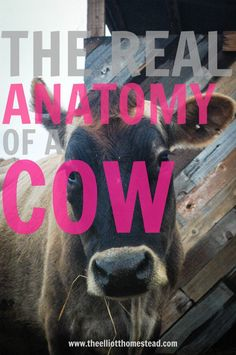 The Real Anatomy of a Cow www.theelliotthomestead.com